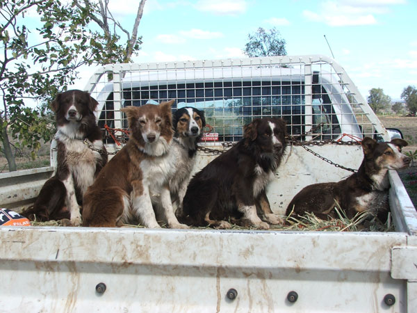Going To Dogs >> NESLO BRAHMANS